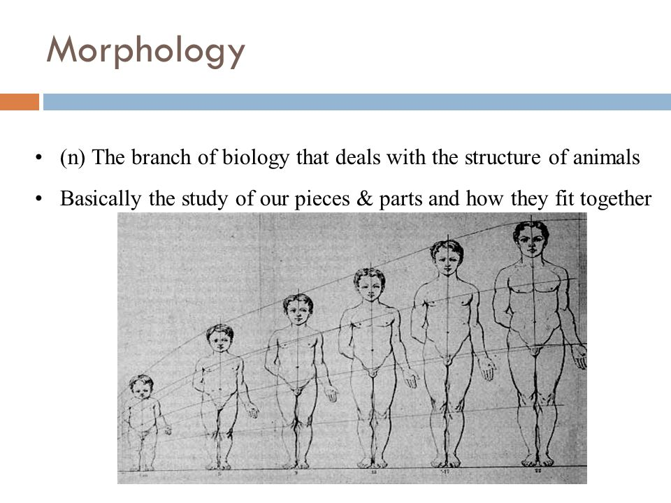 Morphology (n) The branch of biology that deals with the structure of animals. Basically the study of our pieces & parts and how they fit together.