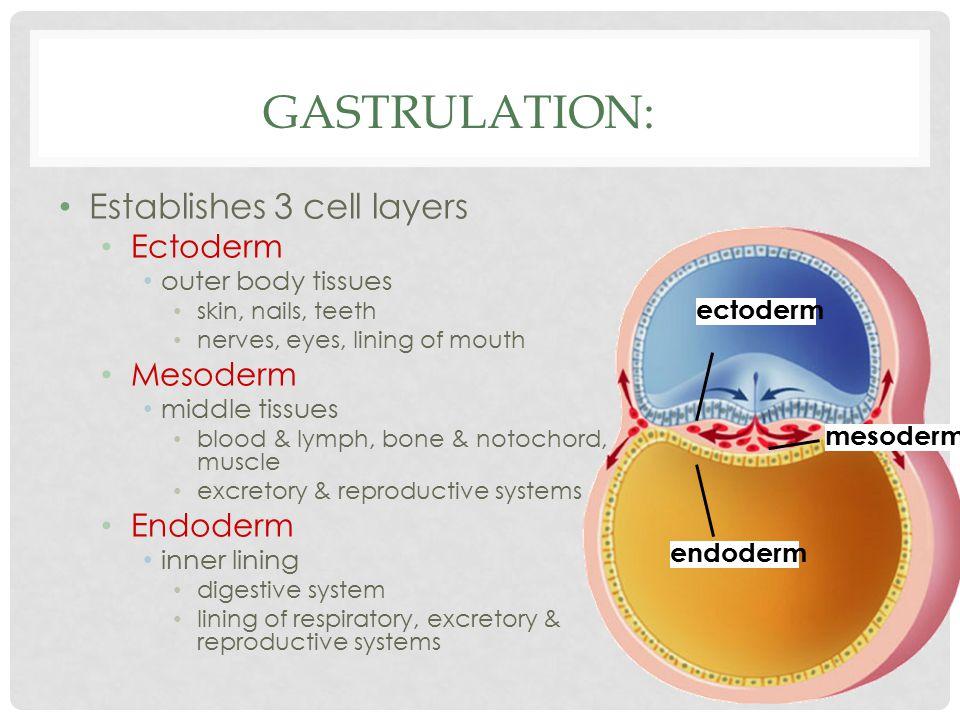 Gastrulation: Establishes 3 cell layers Ectoderm Mesoderm Endoderm