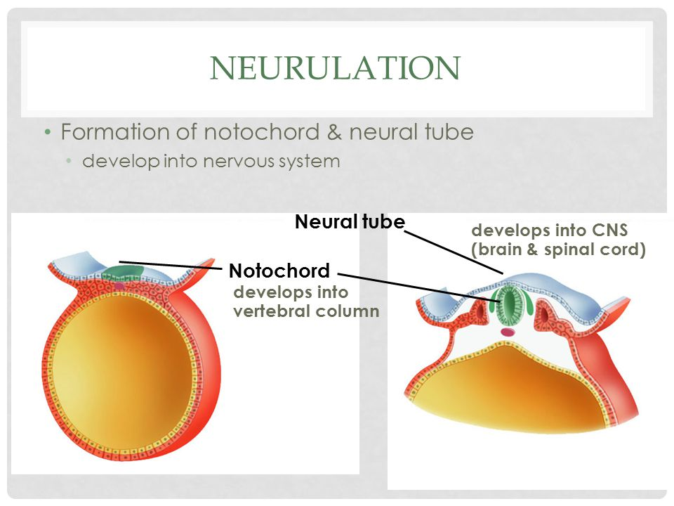 Neurulation Formation of notochord & neural tube Neural tube Notochord