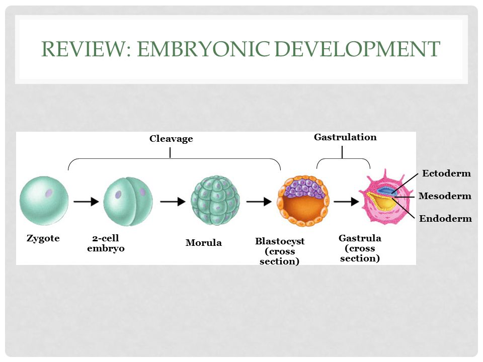 Review: Embryonic Development
