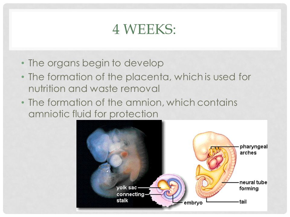 4 weeks: The organs begin to develop