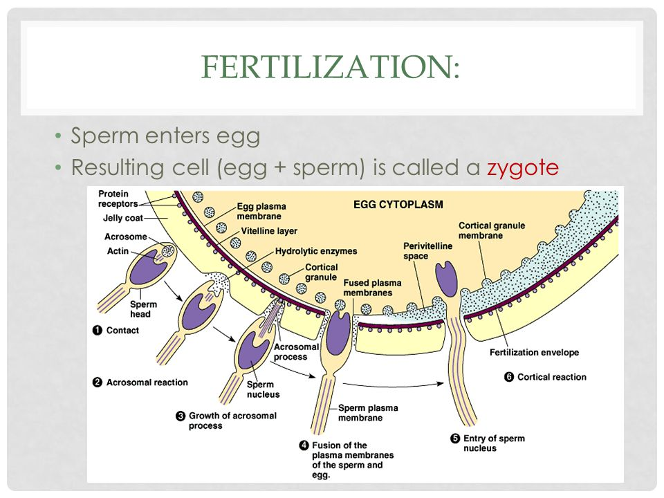 Fertilization: Sperm enters egg