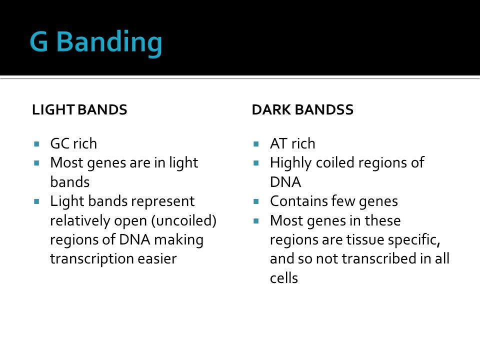 G Banding GC rich Most genes are in light bands