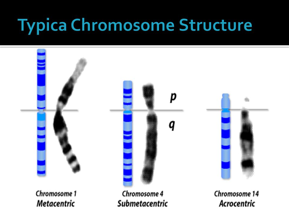 Typica Chromosome Structure