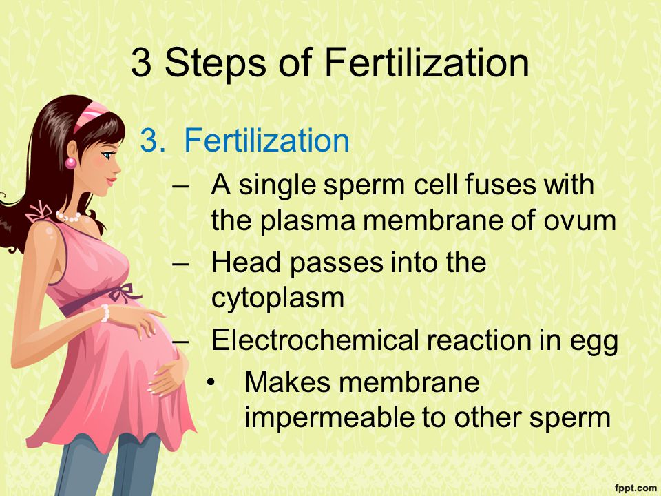 3 Steps of Fertilization