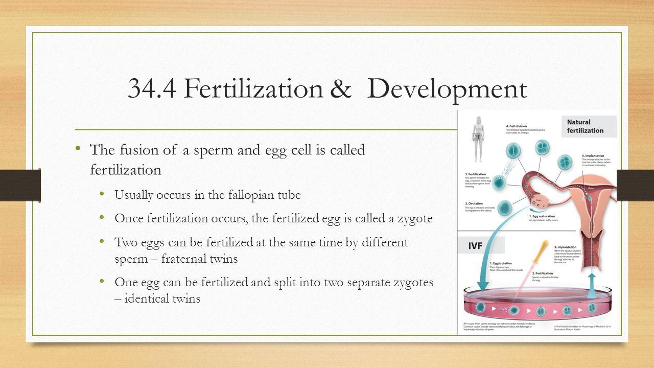 34.4 Fertilization & Development
