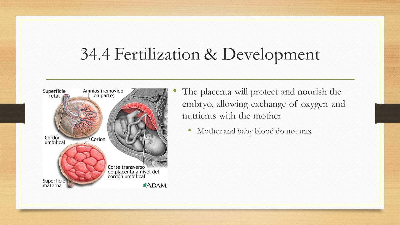 34.4 Fertilization & Development
