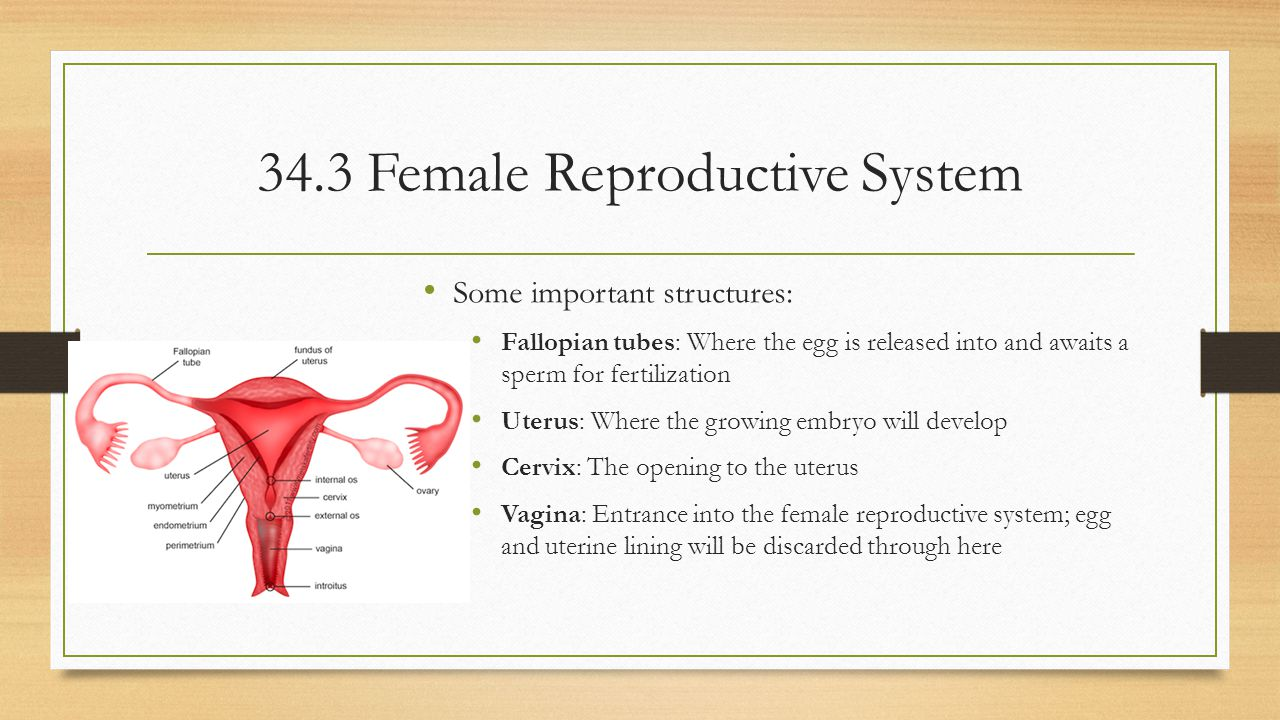 34.3 Female Reproductive System