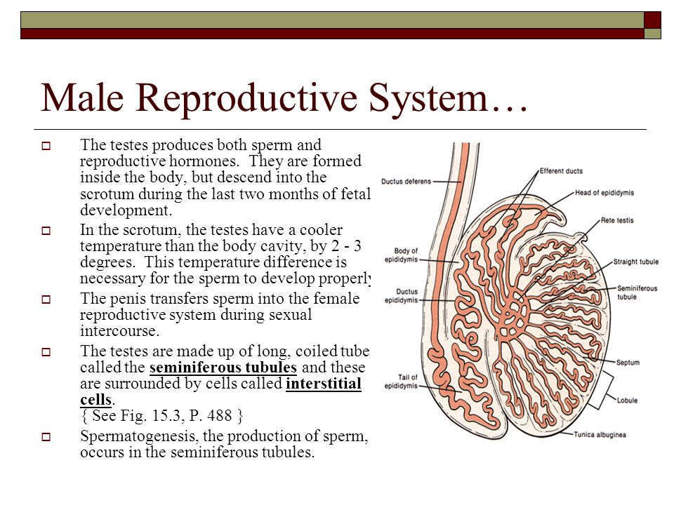 Male Reproductive System…