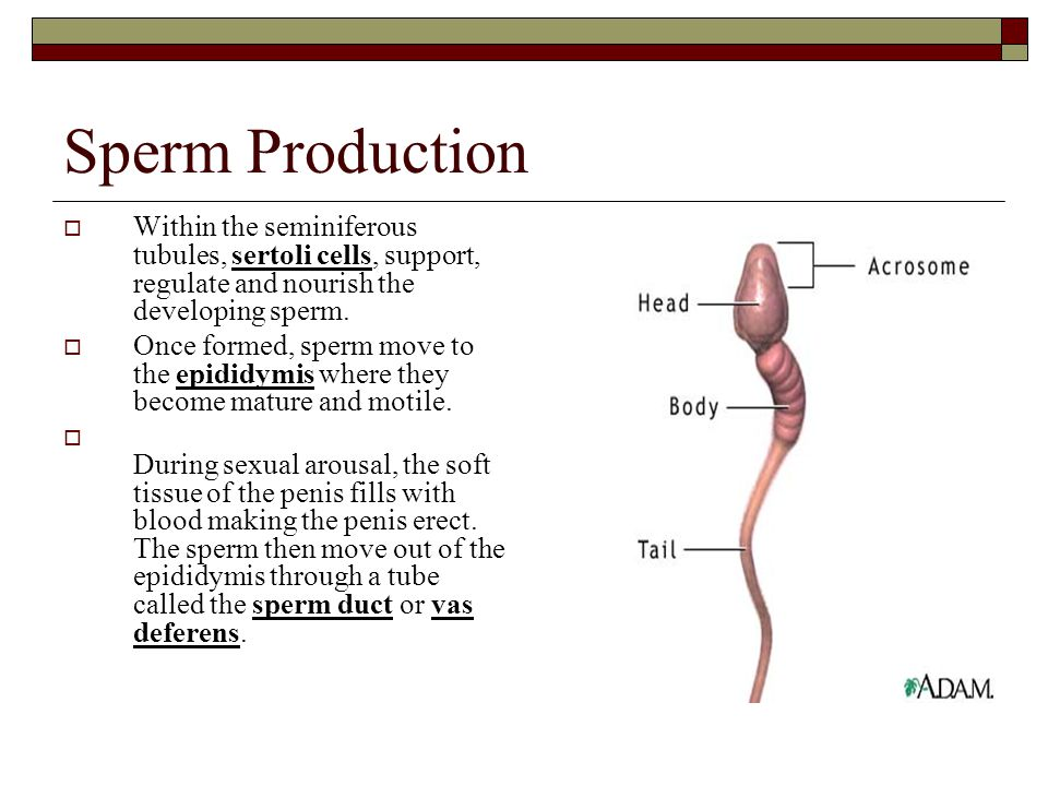 Sperm Production Within the seminiferous tubules, sertoli cells, support, regulate and nourish the developing sperm.