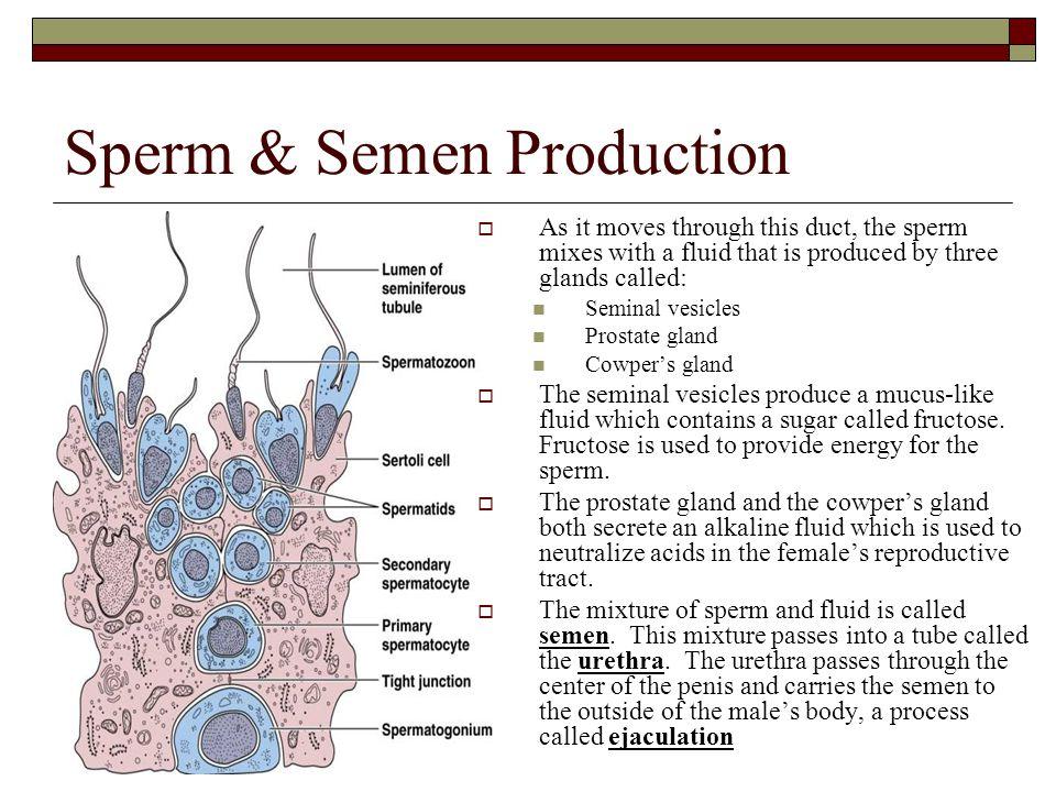 Sperm & Semen Production