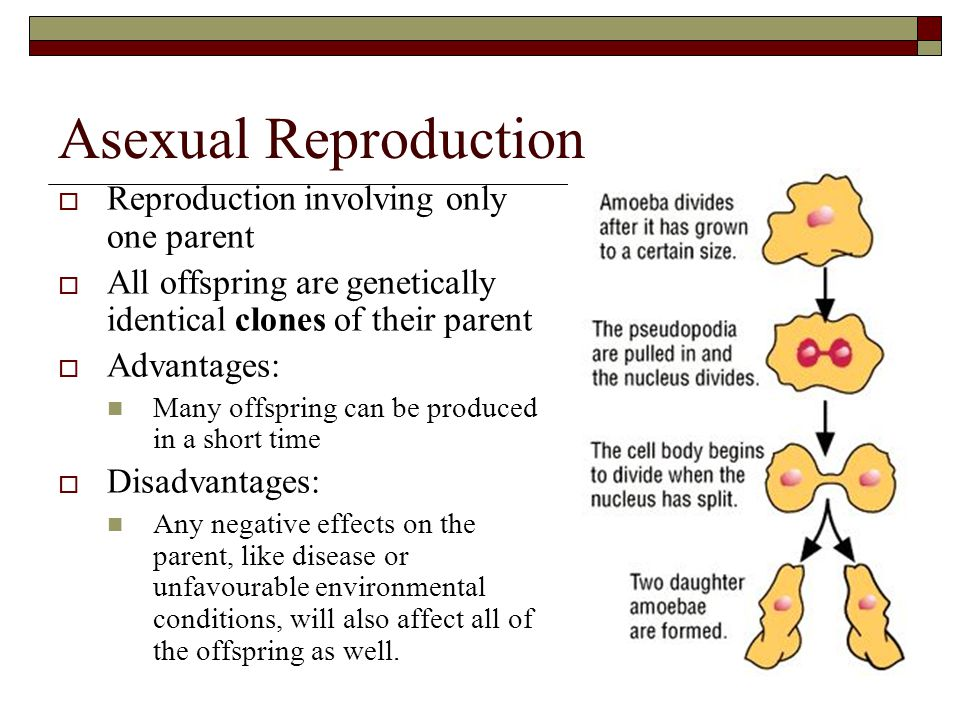 Asexual Reproduction Reproduction involving only one parent
