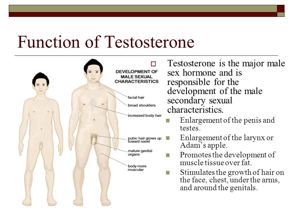 Function of Testosterone