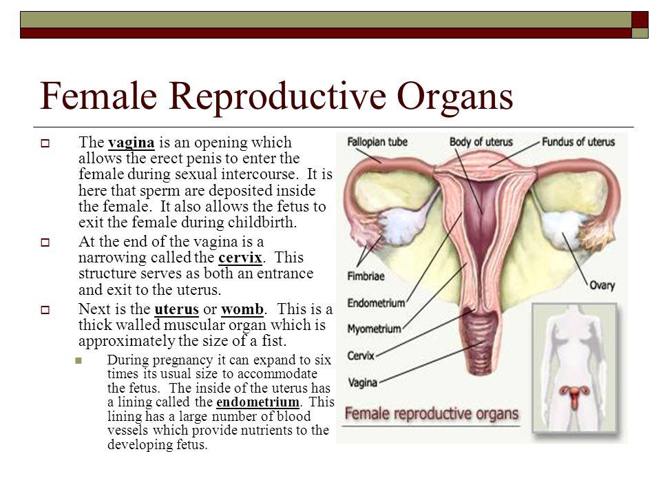 Female Anatomy During Intercourse