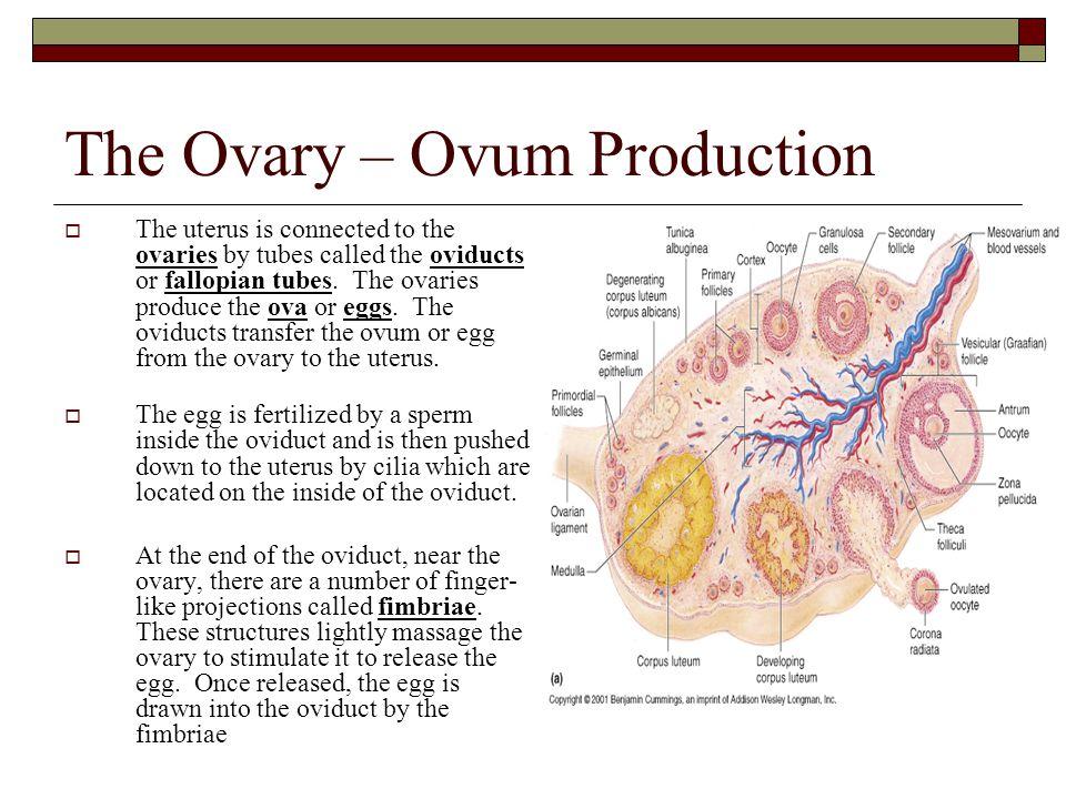 The Ovary – Ovum Production