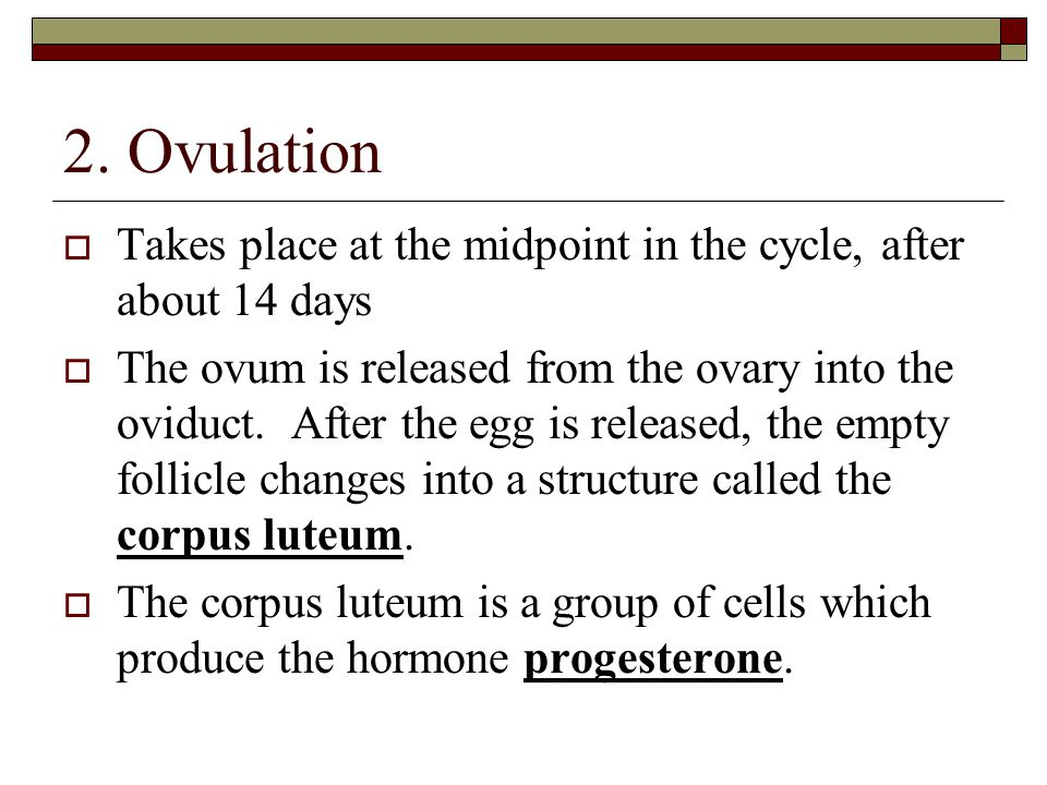 2. Ovulation Takes place at the midpoint in the cycle, after about 14 days.
