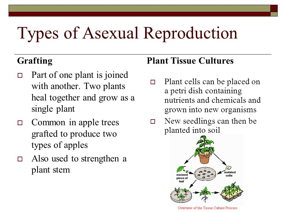 Two types of asexual reproduction photo 90