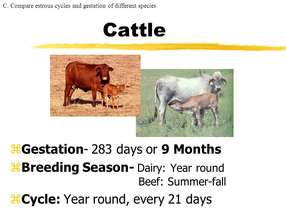 Cattle Gestation- 283 days or 9 Months