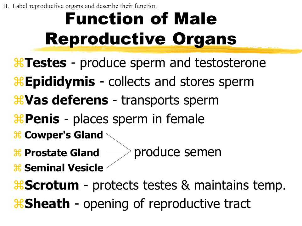 Function of Male Reproductive Organs
