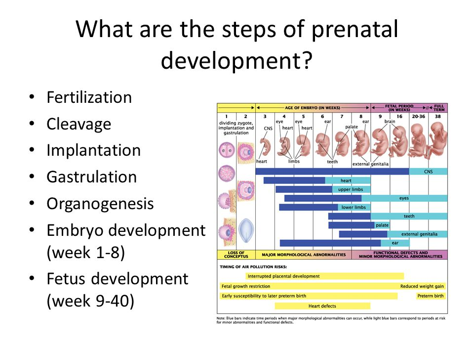 What are the steps of prenatal development
