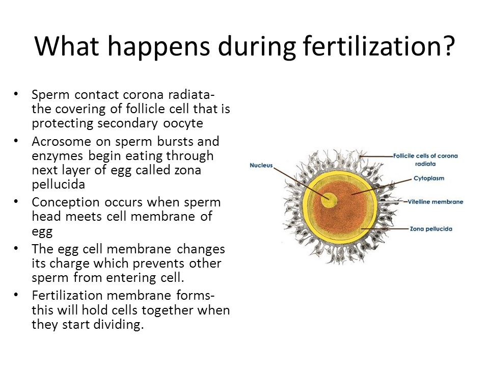 What happens during fertilization