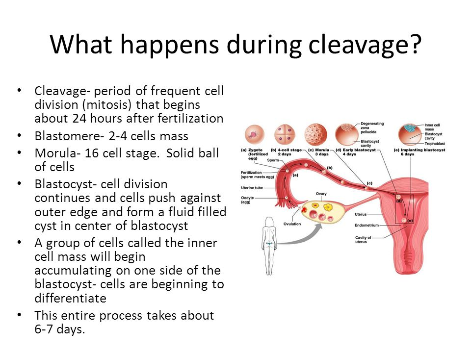 What happens during cleavage