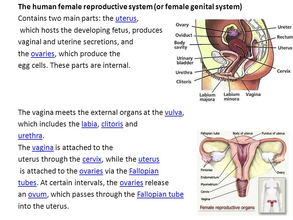 The human female reproductive system (or female genital system) Contains two main parts: the uterus, which hosts the developing fetus, produces vaginal and uterine secretions, and the ovaries, which produce the egg cells.