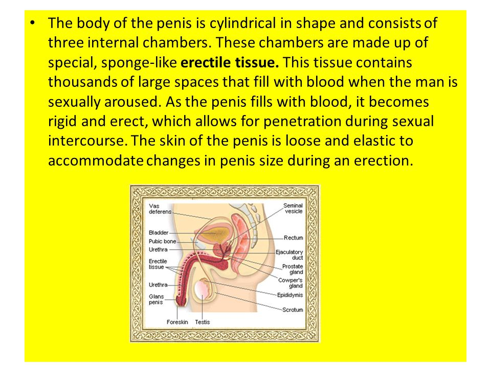 The body of the penis is cylindrical in shape and consists of three internal chambers.