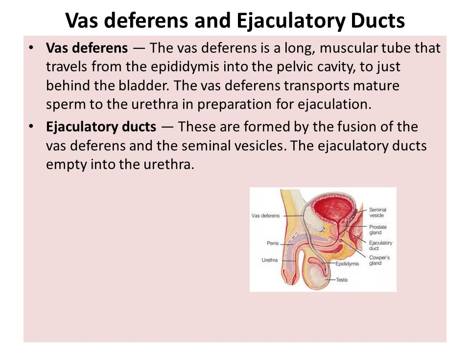 Vas deferens and Ejaculatory Ducts