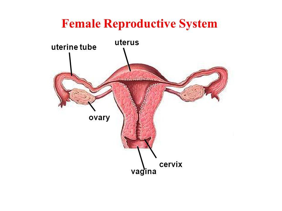 Internal Female Organs
