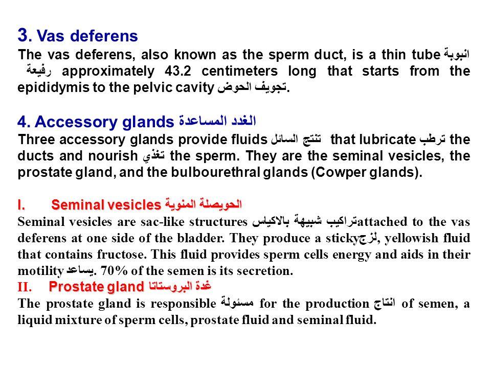 3. Vas deferens 4. Accessory glandsالغدد المساعدة