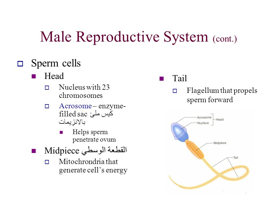 Male Reproductive System (cont.)