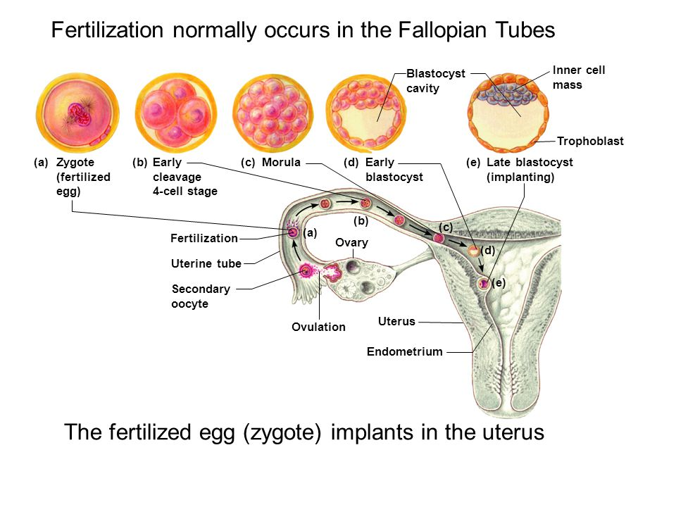 Fertilization normally occurs in the Fallopian Tubes