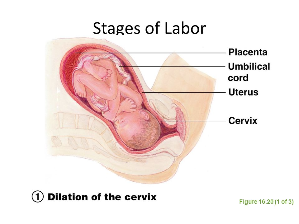 Stages of Labor Figure 16.20 (1 of 3)