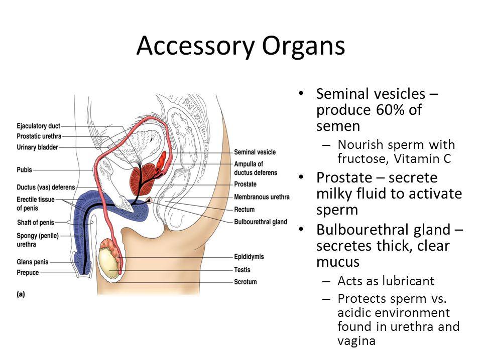 Accessory Organs Seminal vesicles – produce 60% of semen