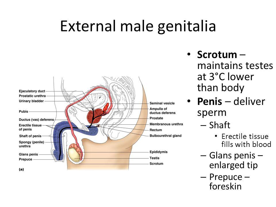 External male genitalia