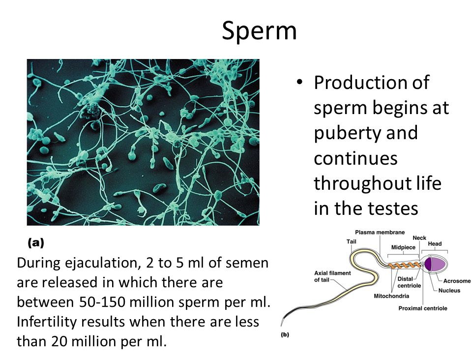 Sperm Production of sperm begins at puberty and continues throughout life in the testes.
