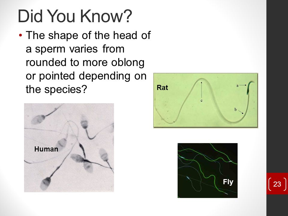 Did You Know The shape of the head of a sperm varies from rounded to more oblong or pointed depending on the species