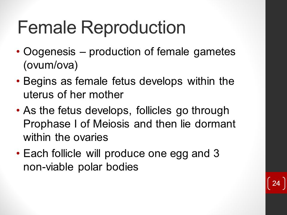 Female Reproduction Oogenesis – production of female gametes (ovum/ova) Begins as female fetus develops within the uterus of her mother.