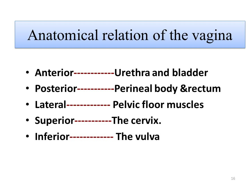 Anatomical relation of the vagina
