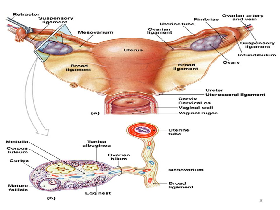 Ovaries and Relationship to Uterine Tube and Uterus