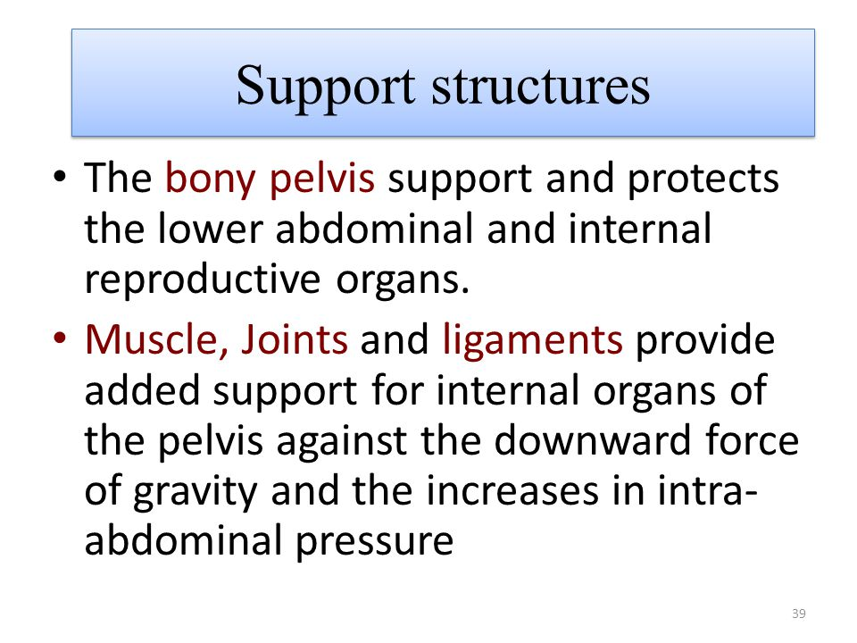Support structures The bony pelvis support and protects the lower abdominal and internal reproductive organs.