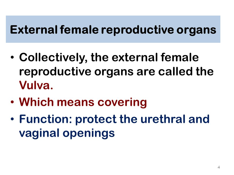 External female reproductive organs