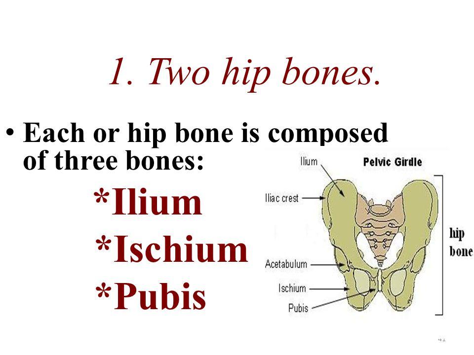 1. Two hip bones. *Ischium *Pubis