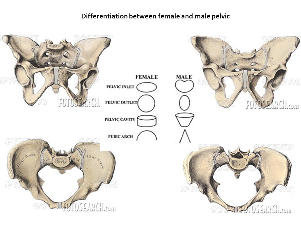 Differentiation between female and male pelvic