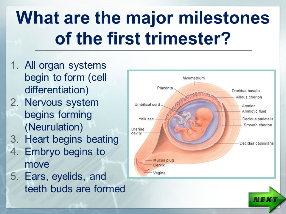 What are the major milestones of the first trimester