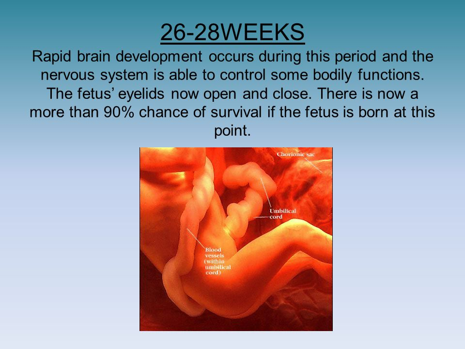 26-28WEEKS Rapid brain development occurs during this period and the nervous system is able to control some bodily functions.