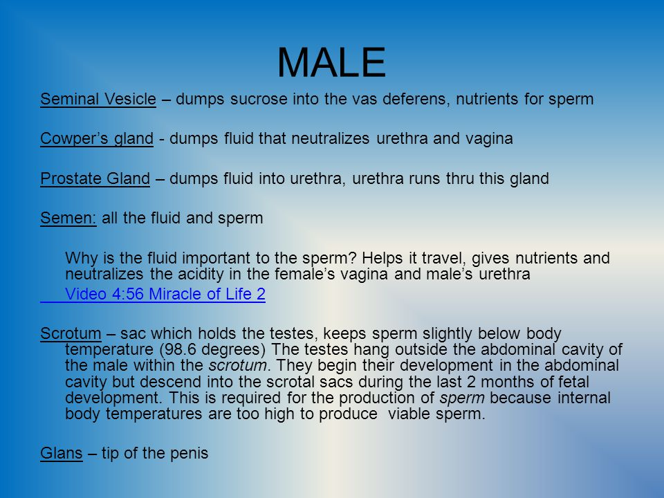 MALE Seminal Vesicle – dumps sucrose into the vas deferens, nutrients for sperm. Cowper's gland - dumps fluid that neutralizes urethra and vagina.