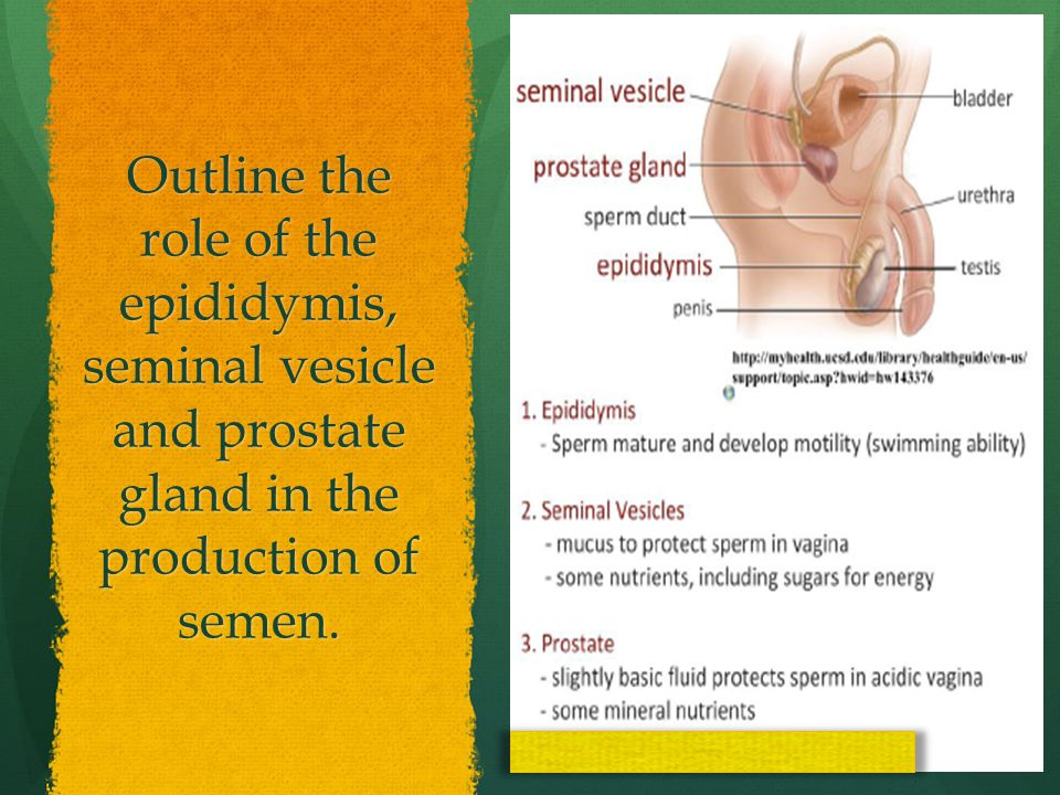Outline the role of the epididymis, seminal vesicle and prostate gland in the production of semen.