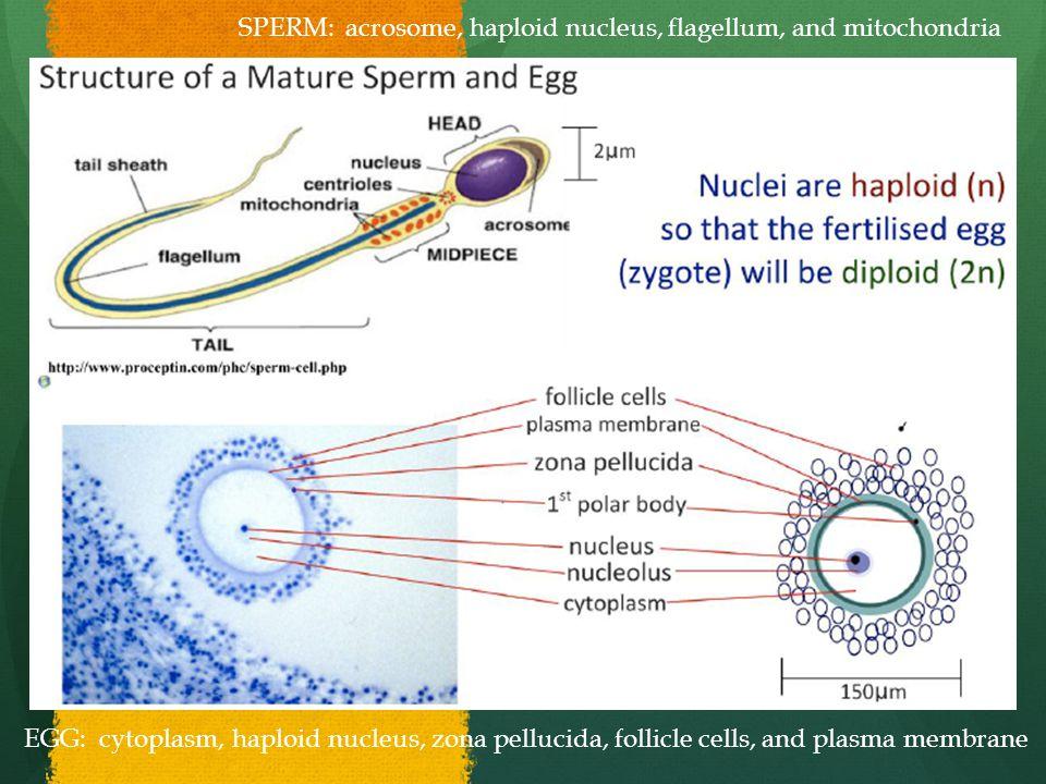 SPERM: acrosome, haploid nucleus, flagellum, and mitochondria